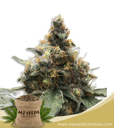Bubbalicious Feminized Marijuana Seeds