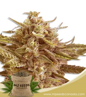Cafe Racer Autoflowering Marijuana Seeds