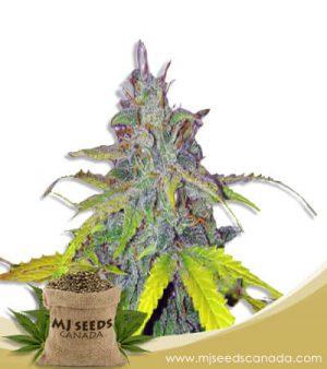 California Orange Autoflowering Marijuana Seeds