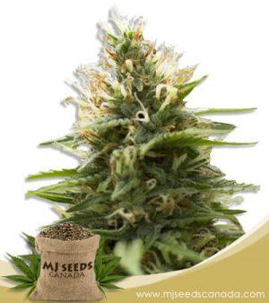 Candy Jack Feminized Marijuana Seeds