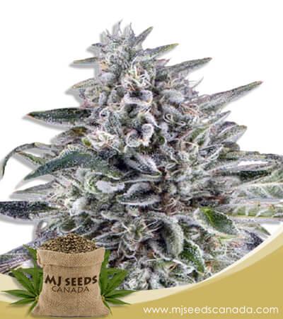 Cereal Milk Autoflowering Marijuana Seeds