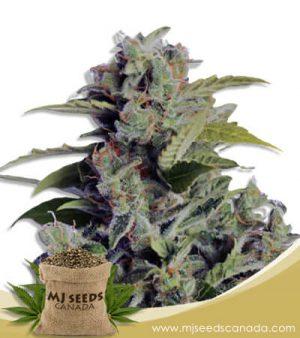 Cherry Cookies Autoflowering Marijuana Seeds