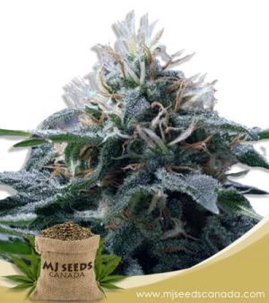 Church OG Autoflowering Marijuana Seeds