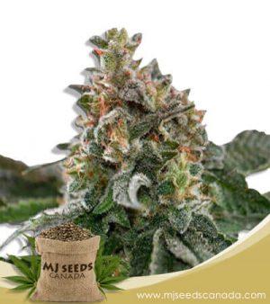 Clementine Feminized Marijuana Seeds