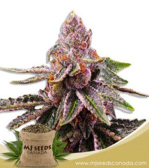 Cookie Crumble Feminized Marijuana Seeds