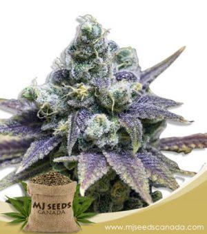 Crushed Grapes Feminized Marijuana Seeds