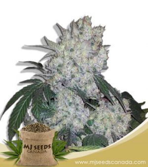 Diamond Kush Autoflowering Marijuana Seeds