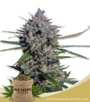 Diesel Berry Autoflowering Marijuana Seeds