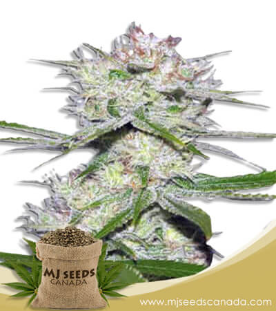 Dutch Crunch Feminized Marijuana Seeds