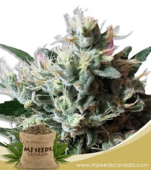 Dutch Dragon Autoflowering Marijuana Seeds