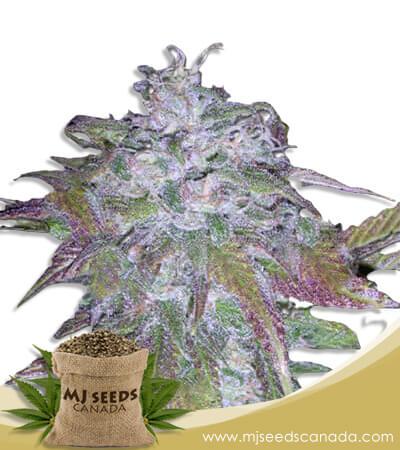Dynamite Feminized Marijuana Seeds