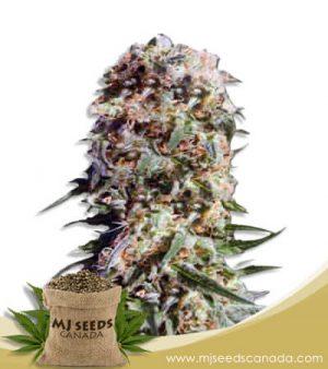 Electric Berry Feminized Marijuana Seeds