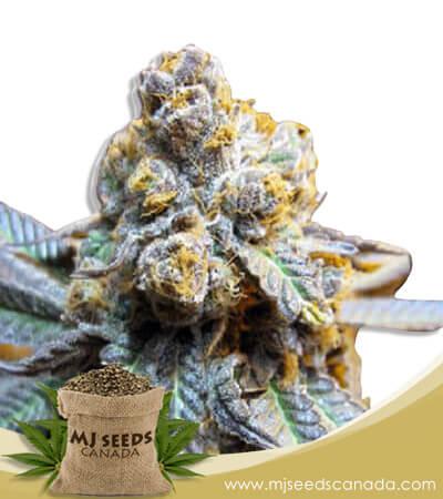 Elephant Autoflowering Marijuana Seeds
