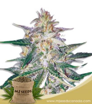 Frankenstein Feminized Marijuana Seeds