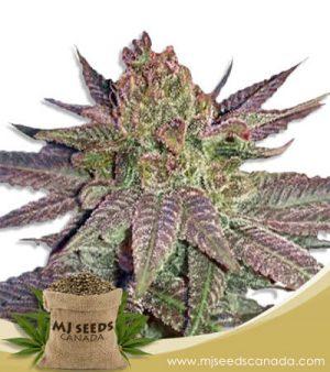 Fruit Loops Feminized Marijuana Seeds