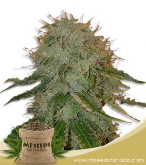 Ghost OG  Autoflowering Marijuana Seeds