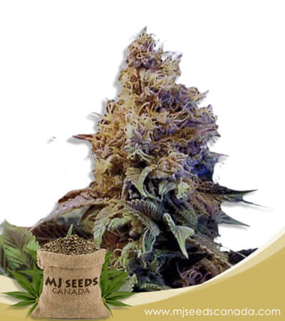 God's Gift Feminized Marijuana Seeds