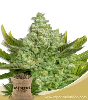 Gorilla Cookies Autoflowering Marijuana Seeds