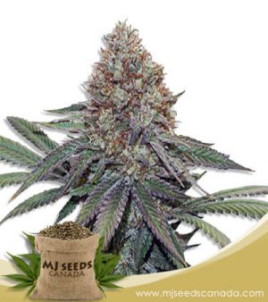 Gorilla Fruit Feminized Marijuana Seeds