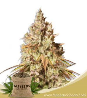 Gorilla Glue #48 Feminized Marijuana Seeds