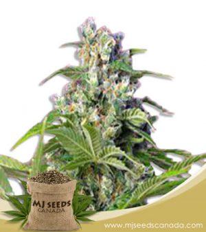 Gorilla Mint Feminized Marijuana Seeds