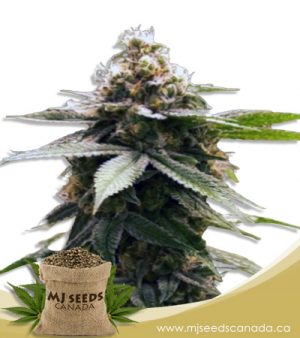 Grape God Feminized Marijuana Seeds