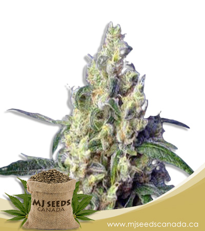Green Dream Feminized Marijuana Seeds