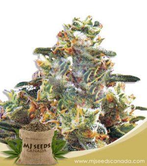 Hawaiian Gold Autoflowering Marijuana Seeds