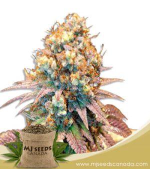 Jungle Juice Autoflowering Marijuana Seeds