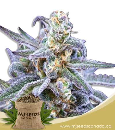Killer Blue Autoflowering Marijuana Seeds
