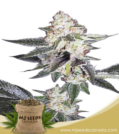 King Louis XIII Autoflowering Marijuana Seeds