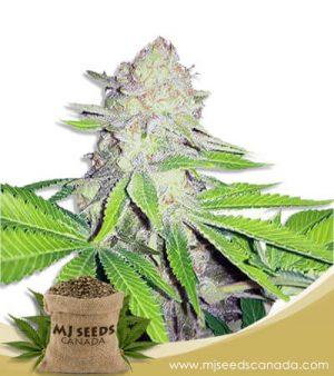 Kush Regular Marijuana Seeds