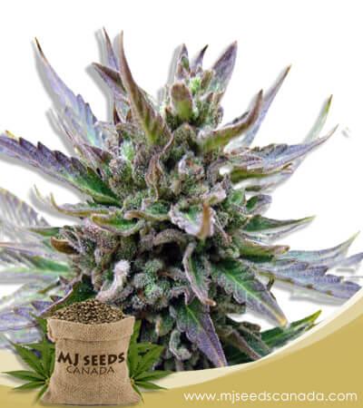 Lamb's Breath Feminized Marijuana Seeds