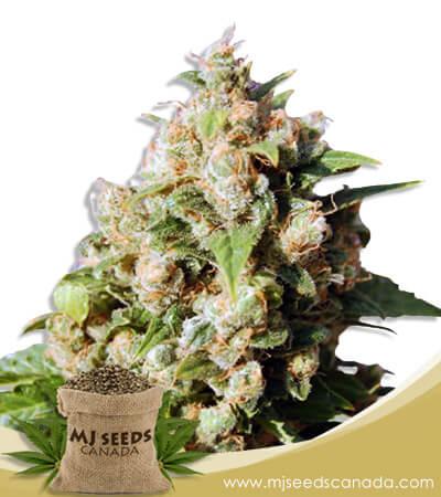 Lucid Dream Feminized Marijuana Seeds