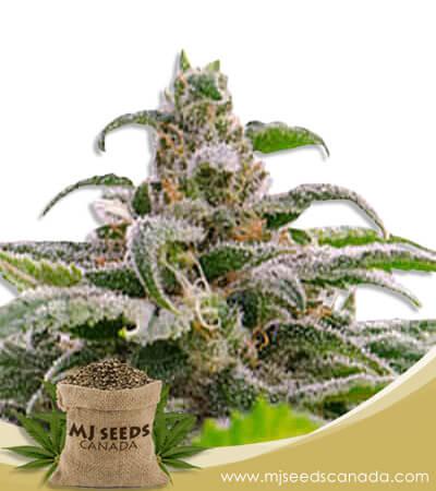 Maui Wowie Autoflowering Marijuana Seeds