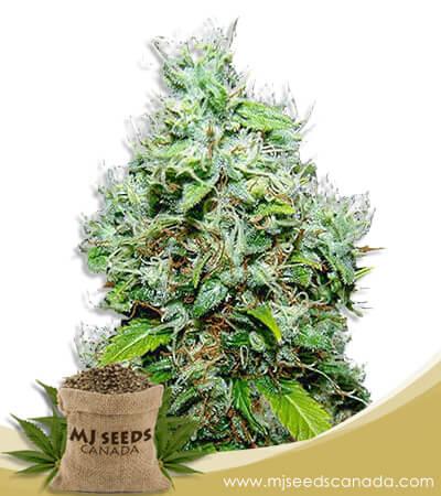 NYC Diesel Autoflowering Marijuana Seeds