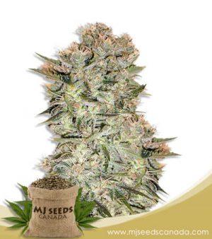Original Skunk Regular Marijuana Seeds