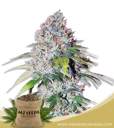 Platinum OG Feminized Marijuana Seeds