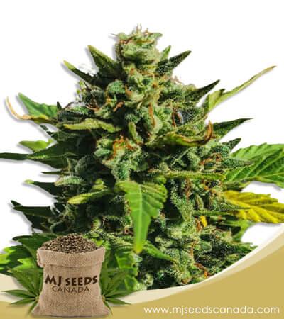 Rainbow Haze Feminized Marijuana Seeds
