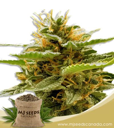 Runtz Feminized Marijuana Seeds