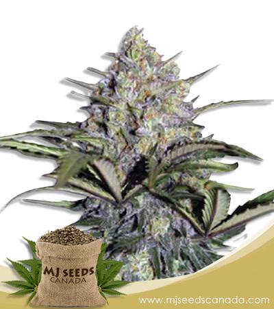 Skunk Glue Feminized Marijuana Seeds