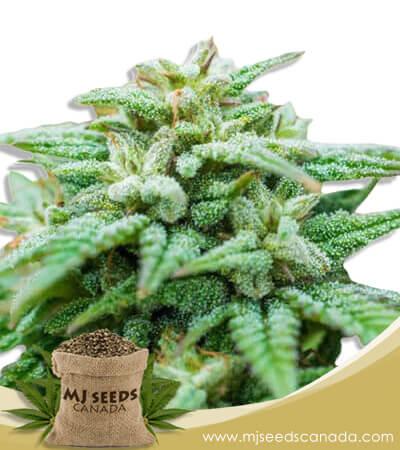 Skywalker Autoflowering Marijuana Seeds