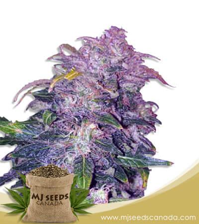 Space Cookies Autoflowering Marijuana Seeds