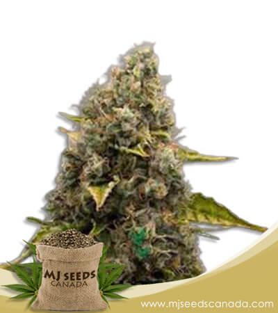 Strawberry Kush Autoflowering Marijuana Seeds