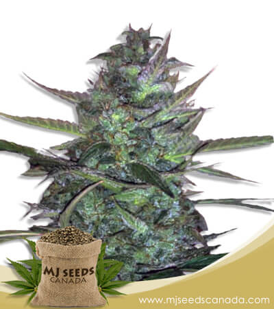 Super Sour Diesel Autoflowering Marijuana Seeds