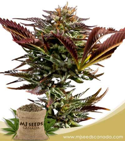 Alien OG BCBD Regular Marijuana Seeds