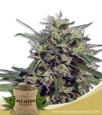 Auto CBD Fruit Marijuana Seeds
