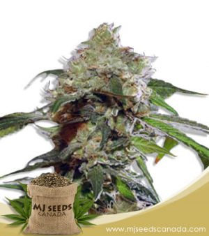 Auto CBDV Afghani Marijuana Seeds