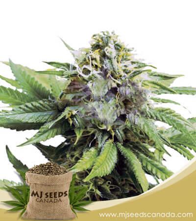 Auto Critical (CBD Auto) Marijuana Seeds