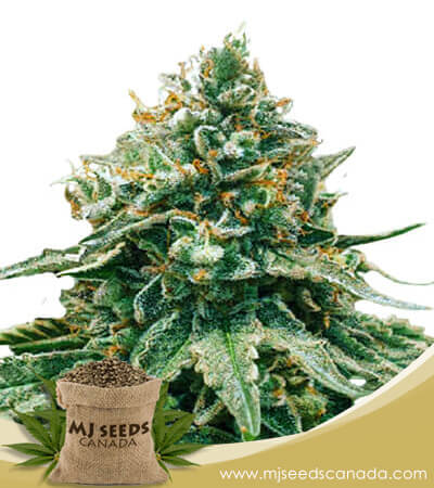 Baklava Feminized Fast Version Marijuana Seeds